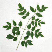 センダンの葉