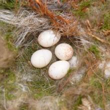 ヤマガラ卵