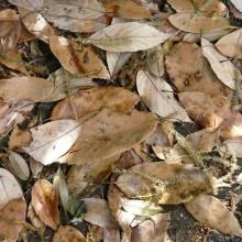 アラカシの落葉