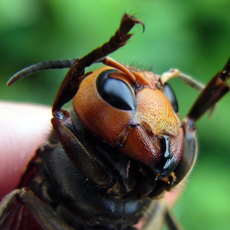 オオスズメバチ 京都九条山自然観察日記 | オオスズメバチ ゲストブック このサイトについて プ