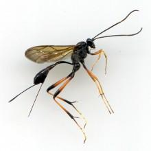 キアシオナガトガイヒメバチ