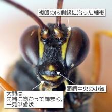 キアシオナガトガリヒメバチ