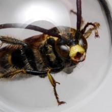 オオハラナガツチバチ?
