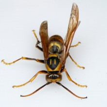 キアシナガバチ♂
