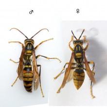 キアシナガバチの雄