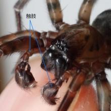 シモフリヤチグモの触肢
