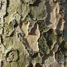 ジグソーパズルのような木肌