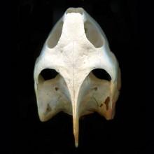 ミシシッピアカミミガメの頭骨