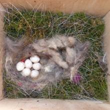 シジュウカラの産卵