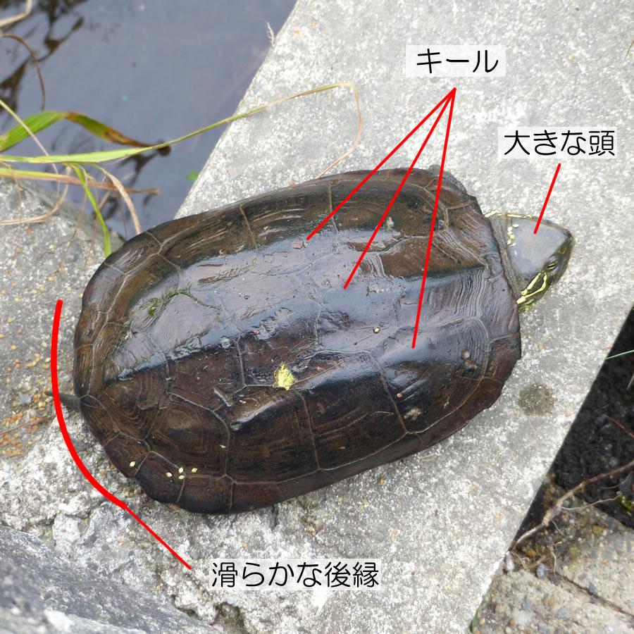 クサガメの画像 p1_9