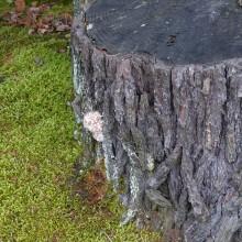 ツガサルノコシカケの幼菌