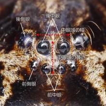 キクメハシリグモ