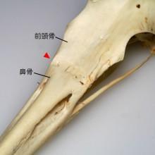 アオサギの頭骨