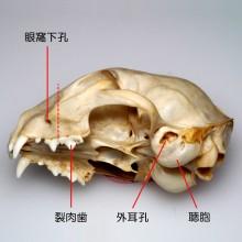 ネコの頭骨