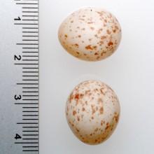 シジュウカラの巣