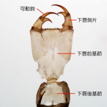 オオサカサナエ羽化殻