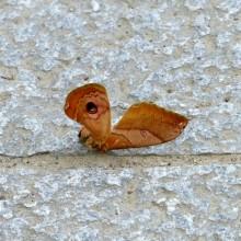 クスサンの翅