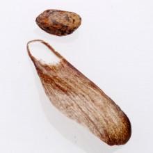 アカマツ種子