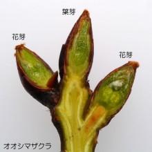 オオシマザクラ冬芽