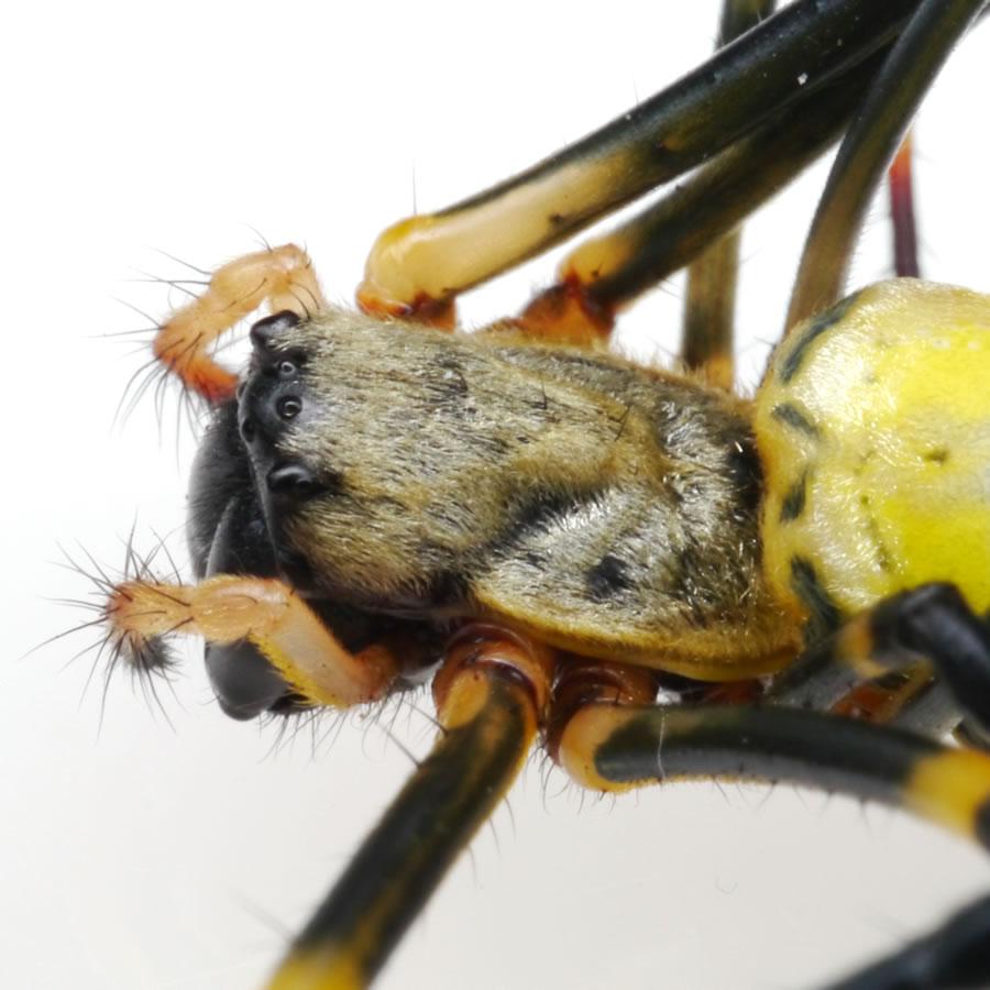 ジョロウグモの画像 p1_31