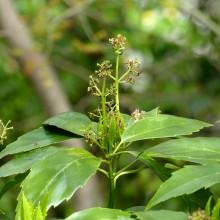 アオキの花