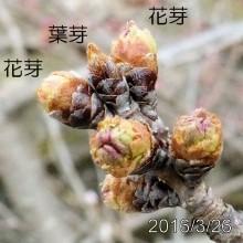 ソメイヨシノの開花推移