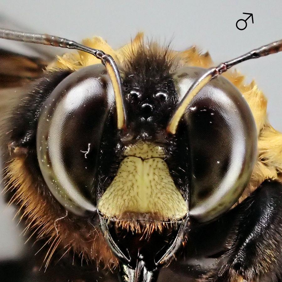 クマバチの画像 p1_30