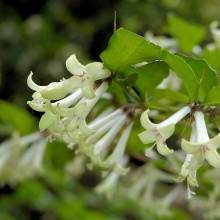 アリドオシの花