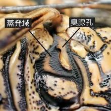 キマダラカメムシ