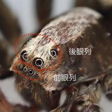 ハラクロコモリグモ