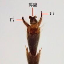 クロスズメバチ