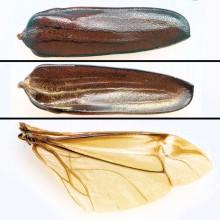 ノコギリカミキリ