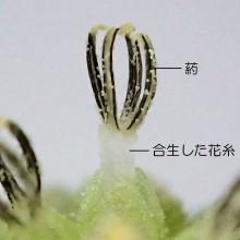 オオオナモミ