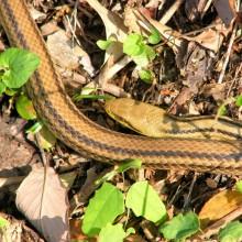 シマヘビ成体