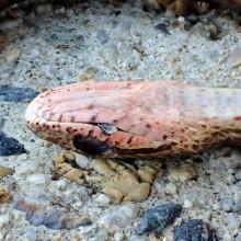 シマヘビ幼体