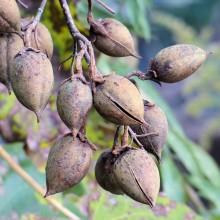 キリの蕾と果実