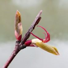 カツラの花