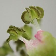ケヤキの花