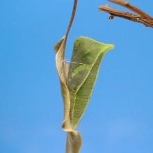 アオスジアゲハの羽化[連続写真]