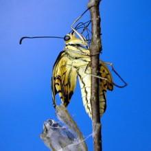 キアゲハの羽化