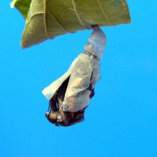 テングチョウの羽化