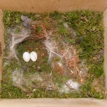 ヤマガラの卵