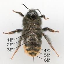 コマルハナバチ(働きバチ)