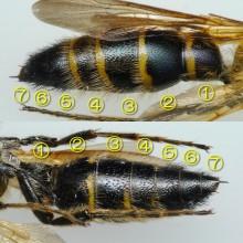 オオハラナガツチバチ
