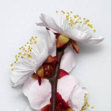 アンズの花