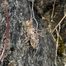 コヤマトンボの羽化殻
