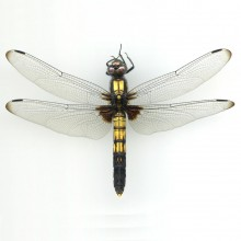 オオシオカラトンボ(♀)