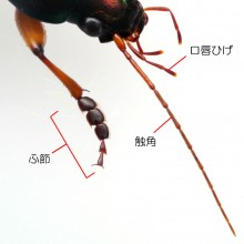 スジアオゴミムシ