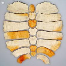 ミシシッピアカミミガメの骨格
