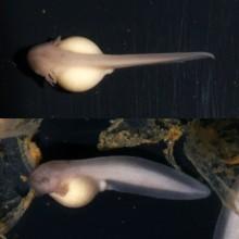 タゴガエルのオタマジャクシ(1)